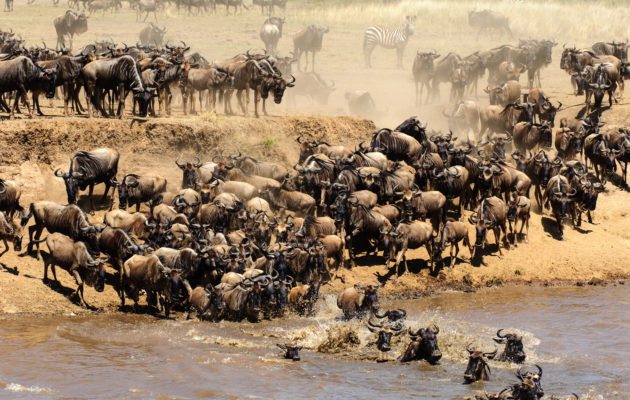 Grote oversteek Mara River